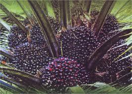 Tahap 2 : Aplikasikan setiap 3-4 bulan sekali. Dosis 3-4 tutup/ pohon  Catatan: Akan Lebih baik pemberian diselingi/ditambah SUPER NASA 1-2 kali/tahun dengan dosis 1 botol untuk + 200 tanaman. Cara lihat Teknik Penanaman (Point 3.2.3.)    3.3.4. Pemangkasan Daun  Terdapat tiga jenis pemangkasan yaitu:  a. Pemangkasan pasir  Membuang daun kering, buah pertama atau buah busuk waktu tanaman berumur 16-20 bulan.  b. Pemangkasan produksi  Memotong daun yang tumbuhnya saling menumpuk (songgo dua) untuk persiapan panen umur 20-28 bulan.  c. Pemangkasan pemeliharaan  Membuang daun-daun songgo dua secara rutin sehingga pada pokok tanaman hanya terdapat sejumlah 28-54 helai.    3.3.5. Kastrasi Bunga  Memotong bunga-bunga jantan dan betina yang tumbuh pada waktu tanaman berumur 12-20 bulan.    3.3.6. Penyerbukan Buatan  Untuk mengoptimalkan jumlah tandan yang berbuah, dibantu penyerbukan buatan oleh manusia atau serangga.  a. Penyerbukan oleh manusia  Dilakukan saat tanaman berumur 2-7 minggu pada bunga betina yang sedang represif (bunga betina siap untuk diserbuki oleh serbuk sari jantan). Ciri bunga represif adalah kepala putik terbuka, warna kepala putik kemerah-merahan dan berlendir.    Cara penyerbukan:  1. Bak seludang bunga.  2. Campurkan serbuk sari dengan talk murni ( 1:2 ). Serbuk sari diambil dari pohon yang baik dan biasanya sudah dipersiapkan di laboratorium, semprotkan serbuk sari pada kepala putik dengan menggunakan baby duster/puffer.  b. Penyerbukan oleh Serangga Penyerbuk Kelapa Sawit  Serangga penyerbuk Elaeidobius camerunicus tertarik pada bau bunga jantan. Serangga dilepas saat bunga betina sedang represif. Keunggulan cara ini adalah tandan buah lebih besar, bentuk buah lebih sempurna, produksi minyak lebih besar 15% dan produksi inti (minyak inti) meningkat sampai 30%.    3.4. Hama dan Penyakit  3.4.1. Hama  a. Hama Tungau  Penyebab: tungau merah (Oligonychus). Bagian diserang adalah daun. Gejala: daun menjadi mengkilap dan berwarna bronz. Pengendalian: S