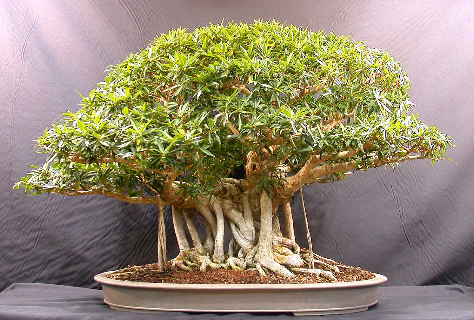 get much information bonsai trees plants