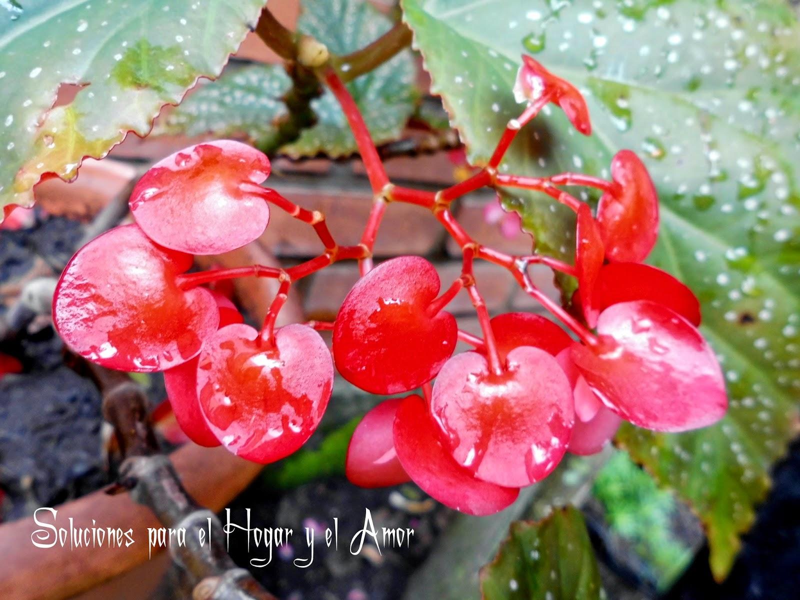 Begonia Dragón Wing, Ala de Dragón