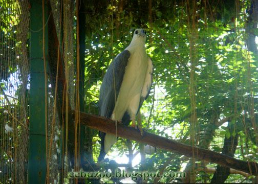 Cebu Zoo White-bellied Sea Eagle