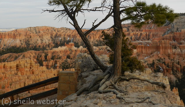 roots of pine tree are above ground