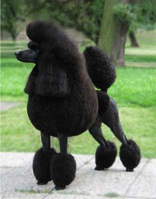 Poodle Dog Photos
