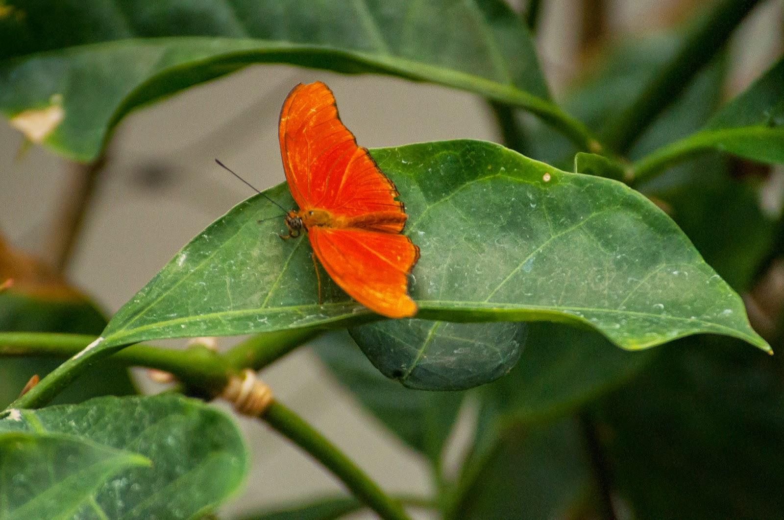 Julia Longwing, Texas Discovery Gardens