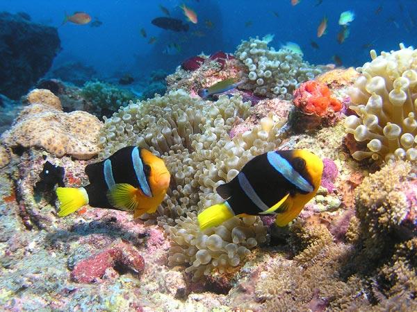 Peces para acuario pez payaso for Peces para acuario