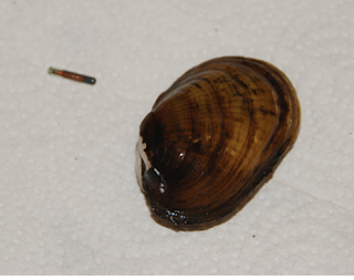 A northern riffleshell mussel.