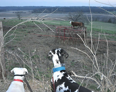 Remi and Ziggy looking through a fence at a pasture with cows