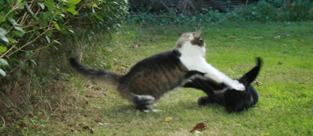 Does Cat Fighting Exsist Like Dog Fighting