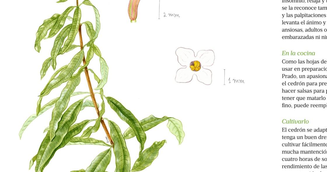 Mi Naturalismo: Hierbas medicinales en Revista Viernes