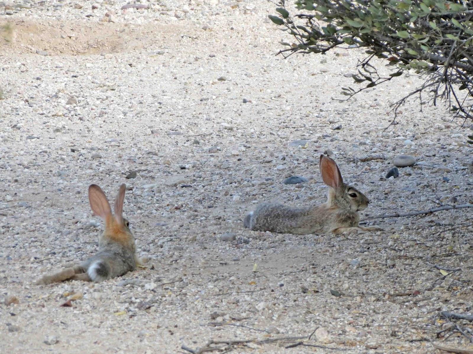 desert rabbits