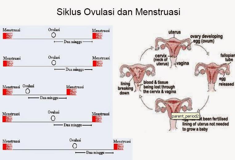 siklus ovulasi dan menstruasi