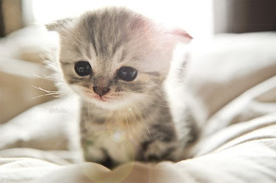 cutest white kitty cat funny cats picture wallpaper