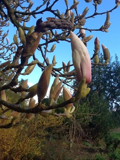 Magnolia buds waiting to flower at Brockhole