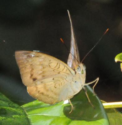 Malay Baron (Euthalia monina) f