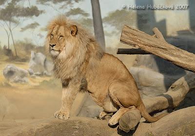 Singa Kalanga (Panthera Leo bleyenberghi)