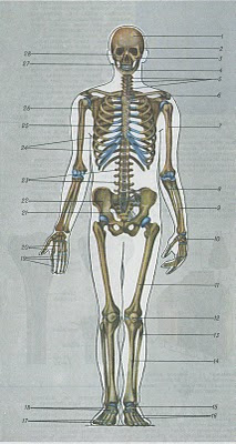 krajšķ kauli un locītavas