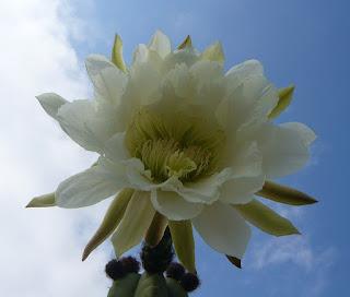 flor del cactus San Pedro