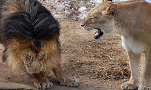 Imagenes Graciosas de Animales,Leones