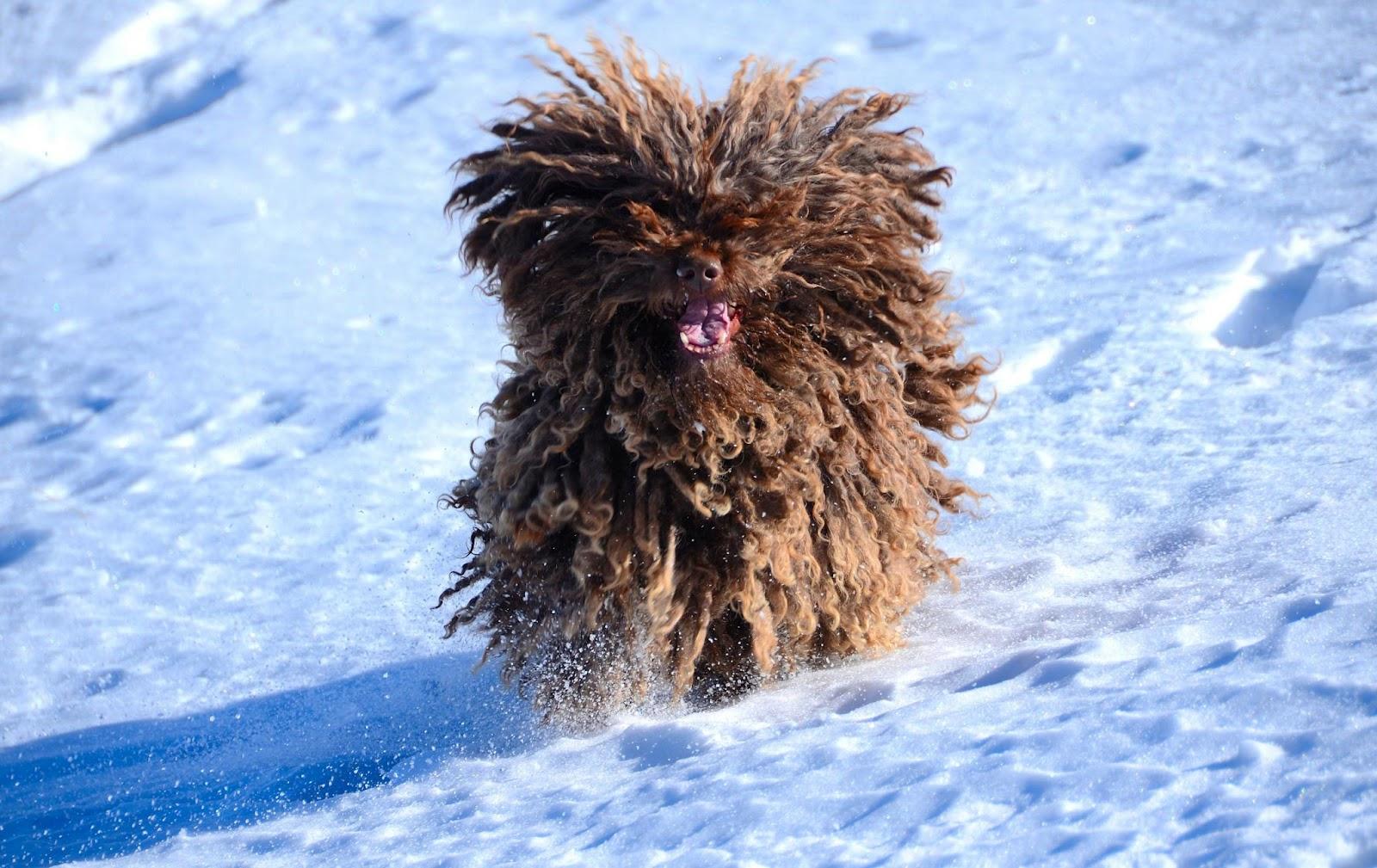 Perros de Agua practicando Snow Dog en Sierra Nevada (Granada)