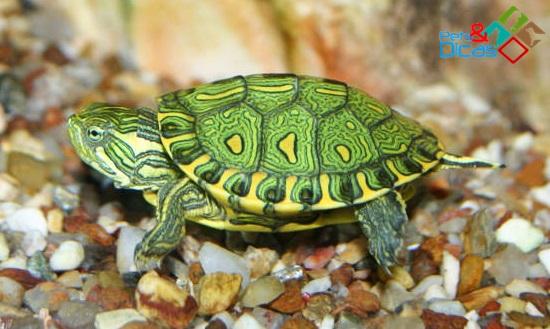 alimentos para tartaruga de aqu rio pets e dicas