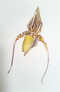 Paphiopedilum St Swithin Sketch ©Polly o'Leary2015