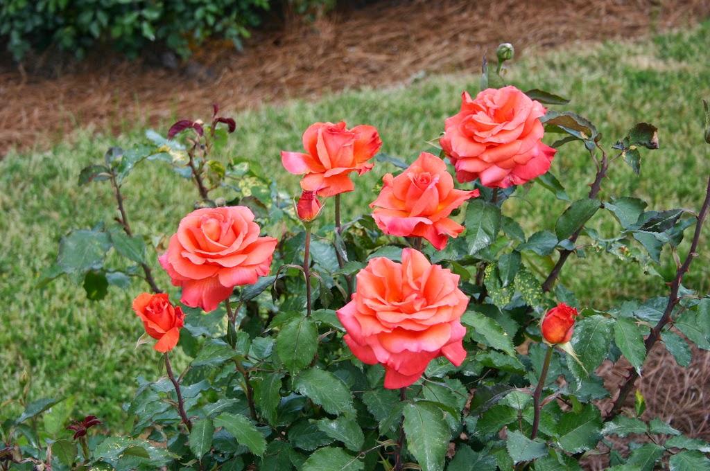 peces y plantas ornamentales rosa grandiflora rosales