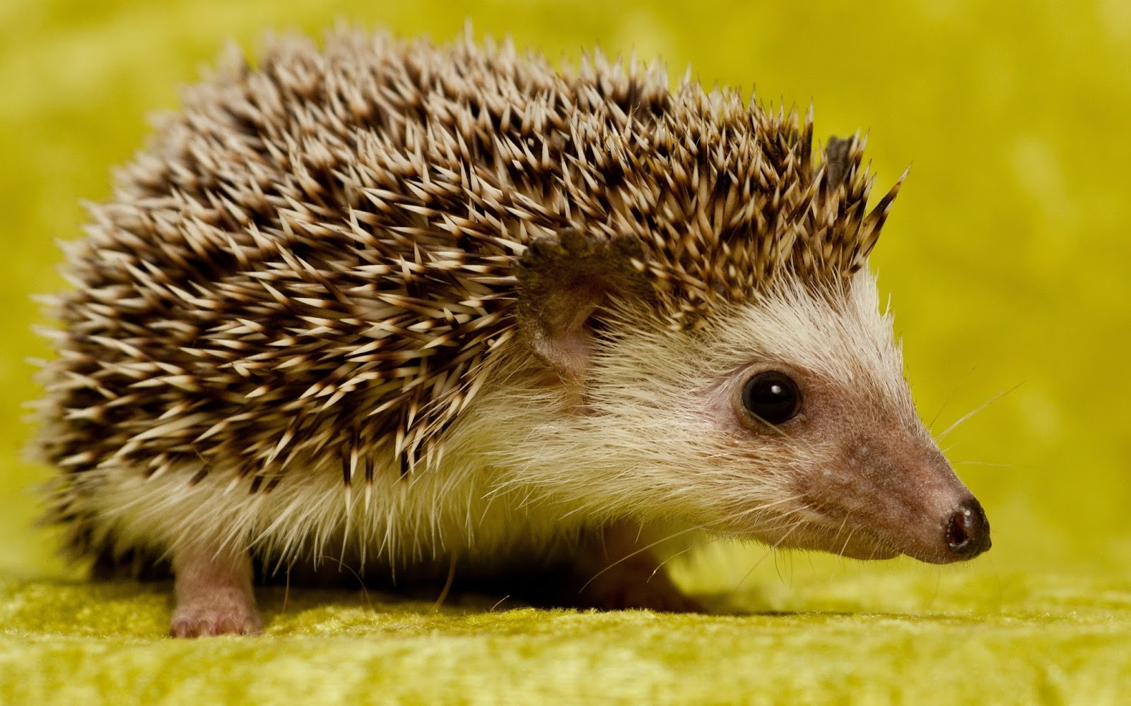 Hodder Designs: Hedgehogs!