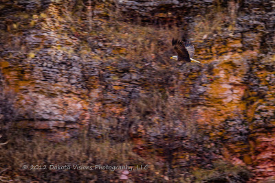Bald Eagle in Flight Black Hills SD by Dakota Visions Photography LLC www.dakotavisions.com