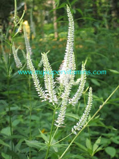 Culver's Root- sumber Herb Lax Shaklee