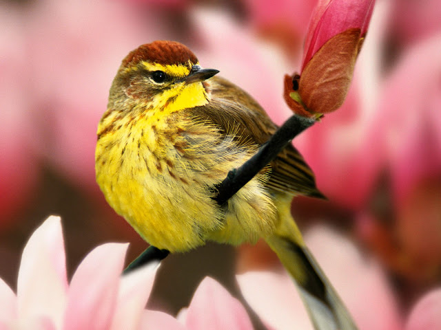 Flower and male palm warbler wallpaper