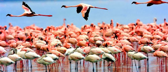 Natron lake flamingo