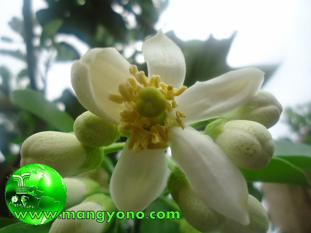 Alat kelamin jantan dan Alat kelamin betina pada bunga Jeruk bali.