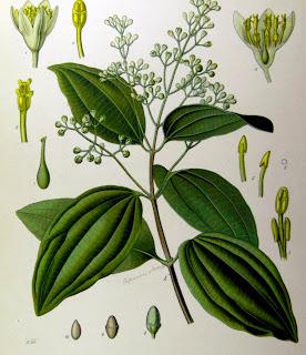 Canela da Índia, Cinnamomum zeylanicum