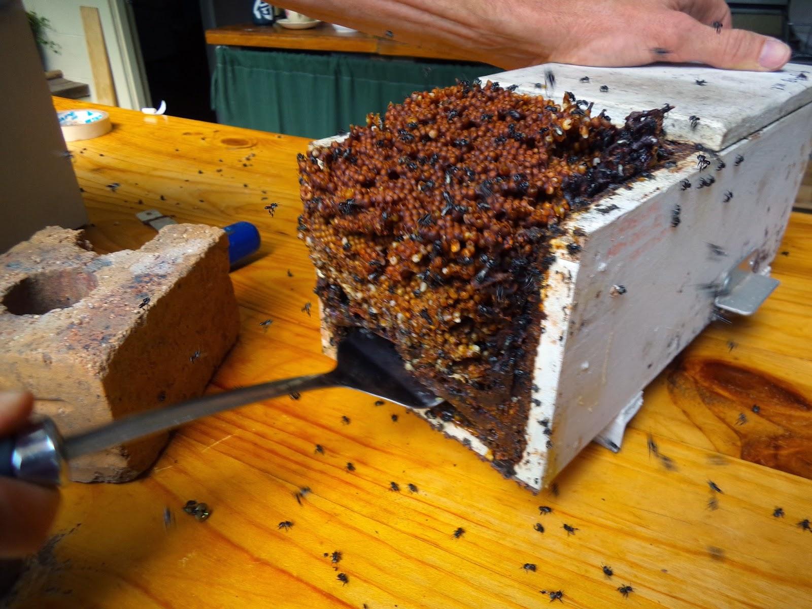 the practical frog blog tetragonula hockingsii hive transfer