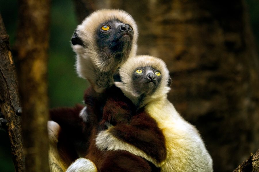 17. Lemur Mom and Baby by Gustavo Castillo