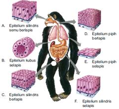 jaringan pada hewan vertebrata