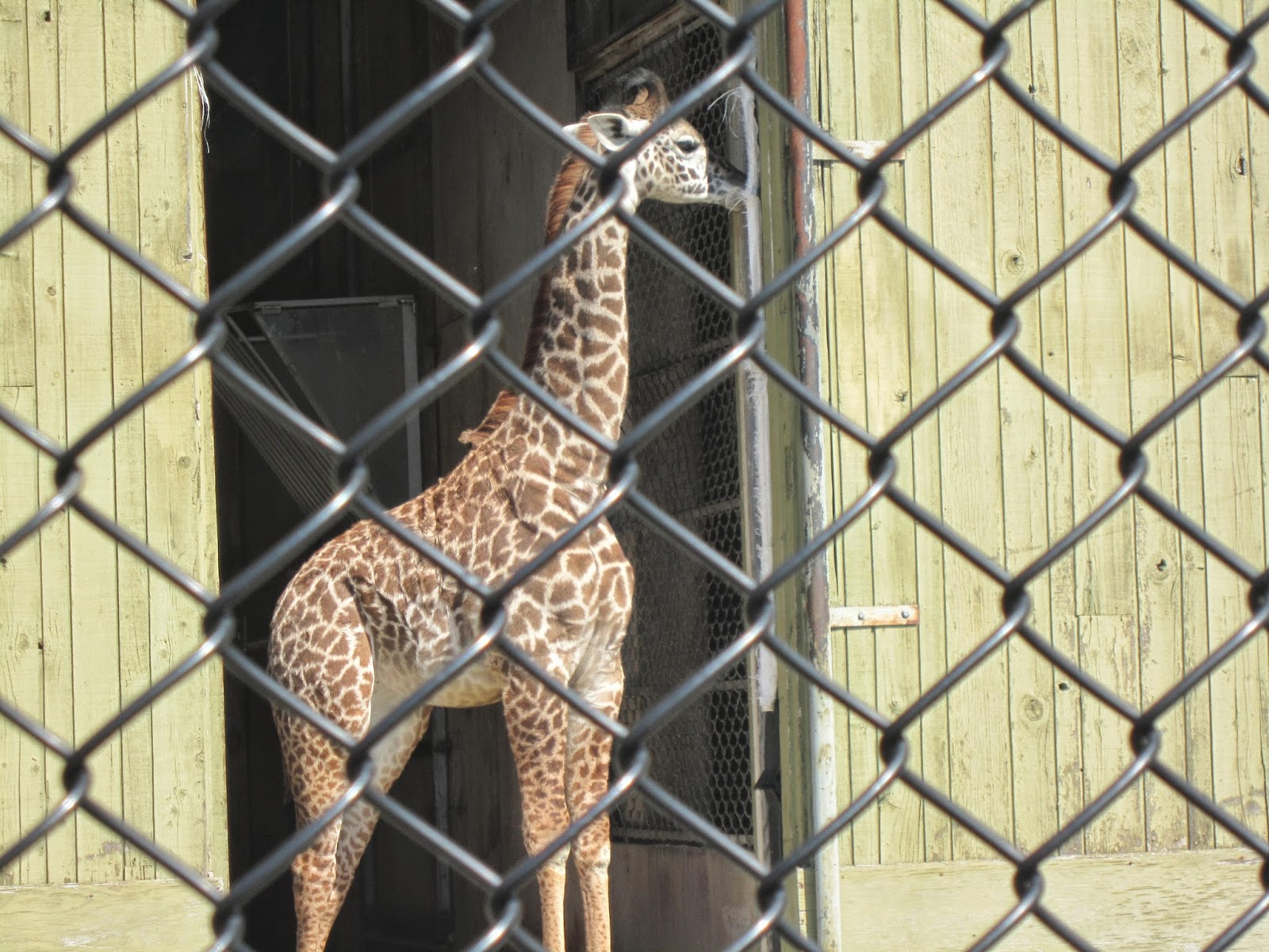 baby giraffe, zoo, Toronto Zoo, animals, animal photography