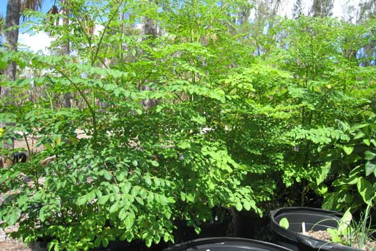 http://4.bp.blogspot.com/-kfbVeRu9_RY/TwzAdOqbvdI/AAAAAAAAIfY/RXT__Qu7Kdo/s1600/Moringa-oleifera-25-gal.jpg