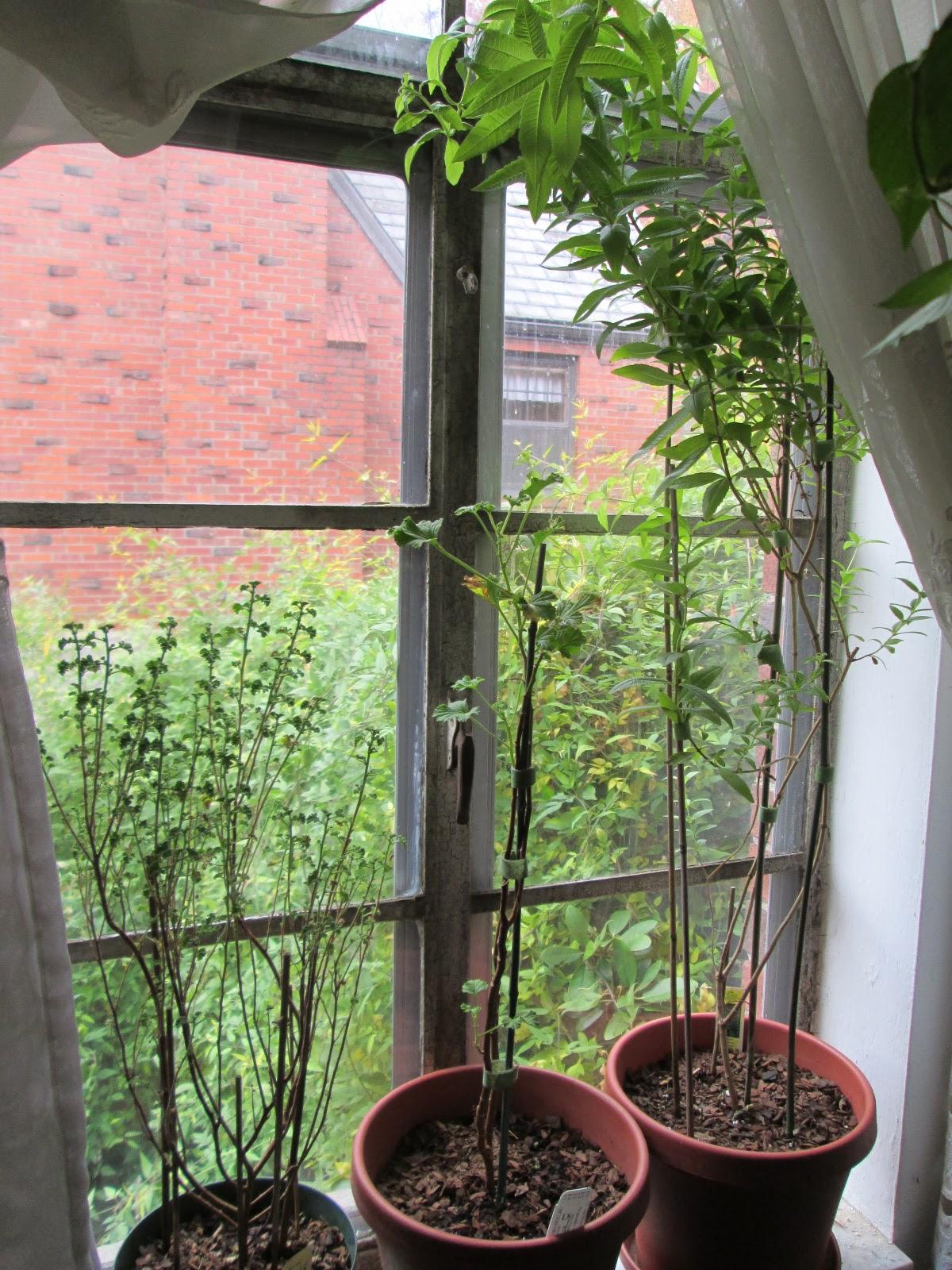 lemon verbena lady u0027s herb garden the indoor winter landscape