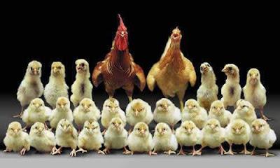 Gambar Ayam Lucu