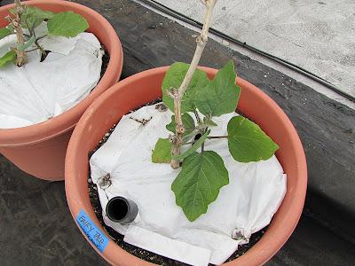 Bucolic Bushwick Rooftop Vegetable Garden Eggplants