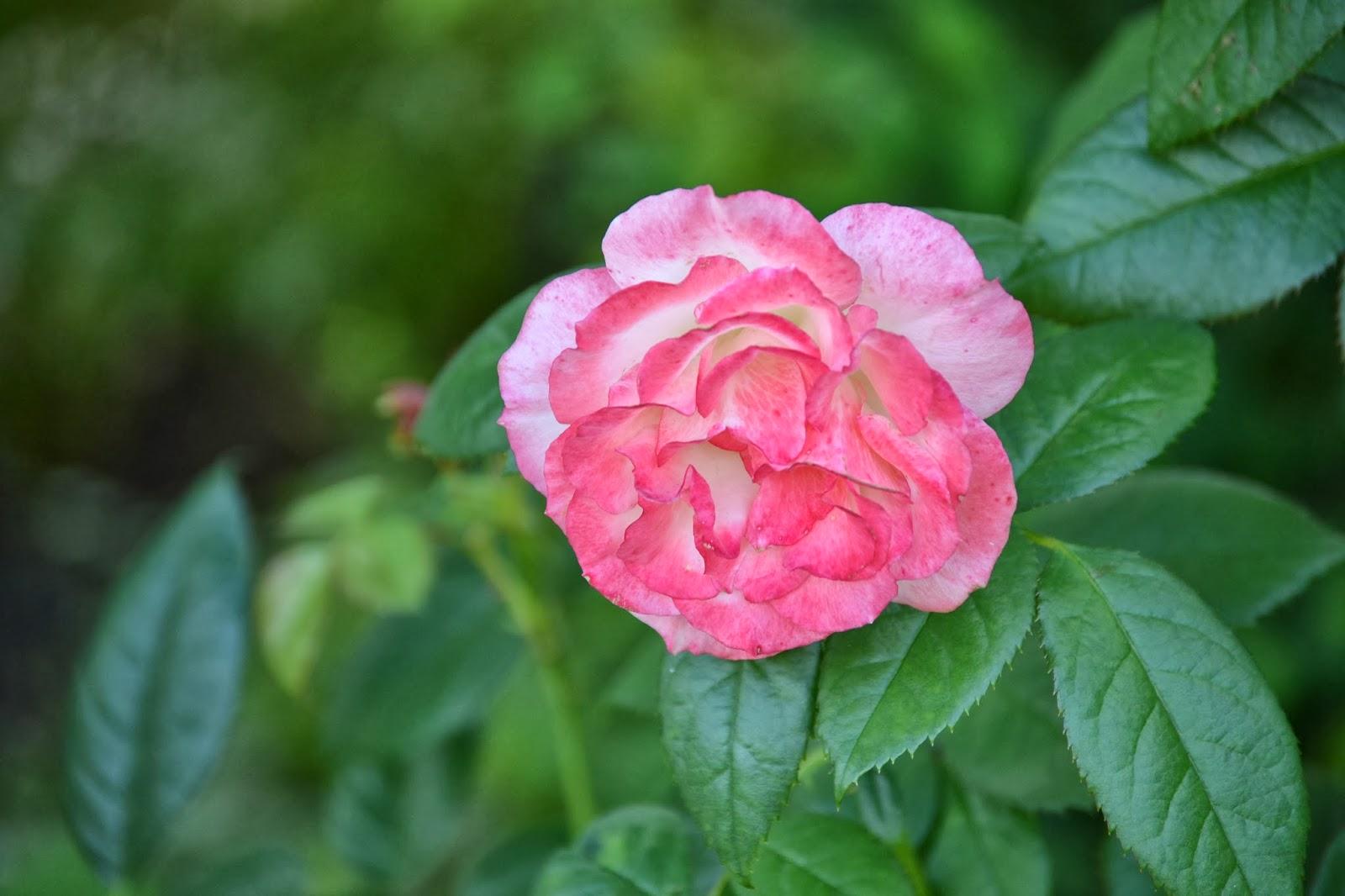 Roses | Flower and Garden