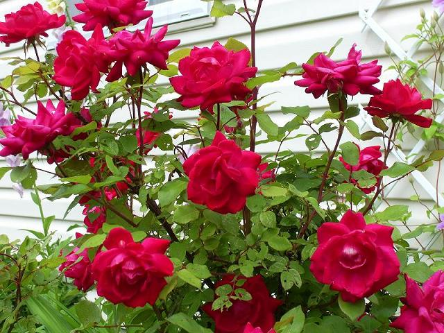 How to Care Roses Plants