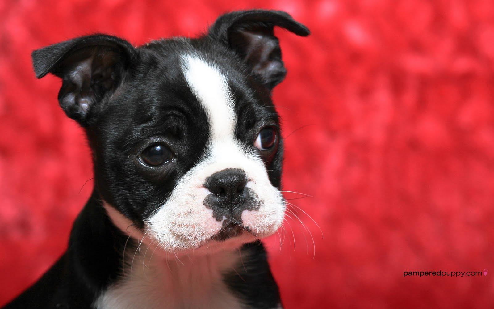 http://4.bp.blogspot.com/-kgkp0sB9tK0/Th84VrfECfI/AAAAAAAAALE/8GUuFr8E7Hg/s1600/Boston+Terrier+Dogs+Wallpapers+1.jpg