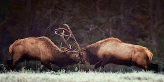 Bull Elk Fight 10/28/12 Near Ponca, AR