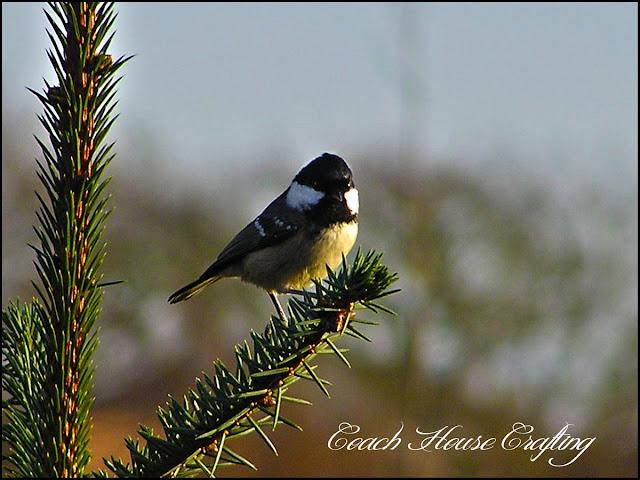 Coal tit, garden bird