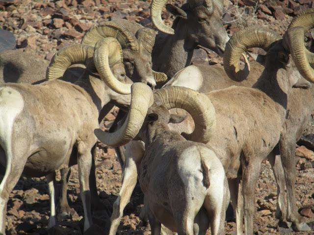 AZ+Desert+Bighorn+Sheep+Scouting+Pics+by+Colburn+and+Scott+Outfitters+11.JPG