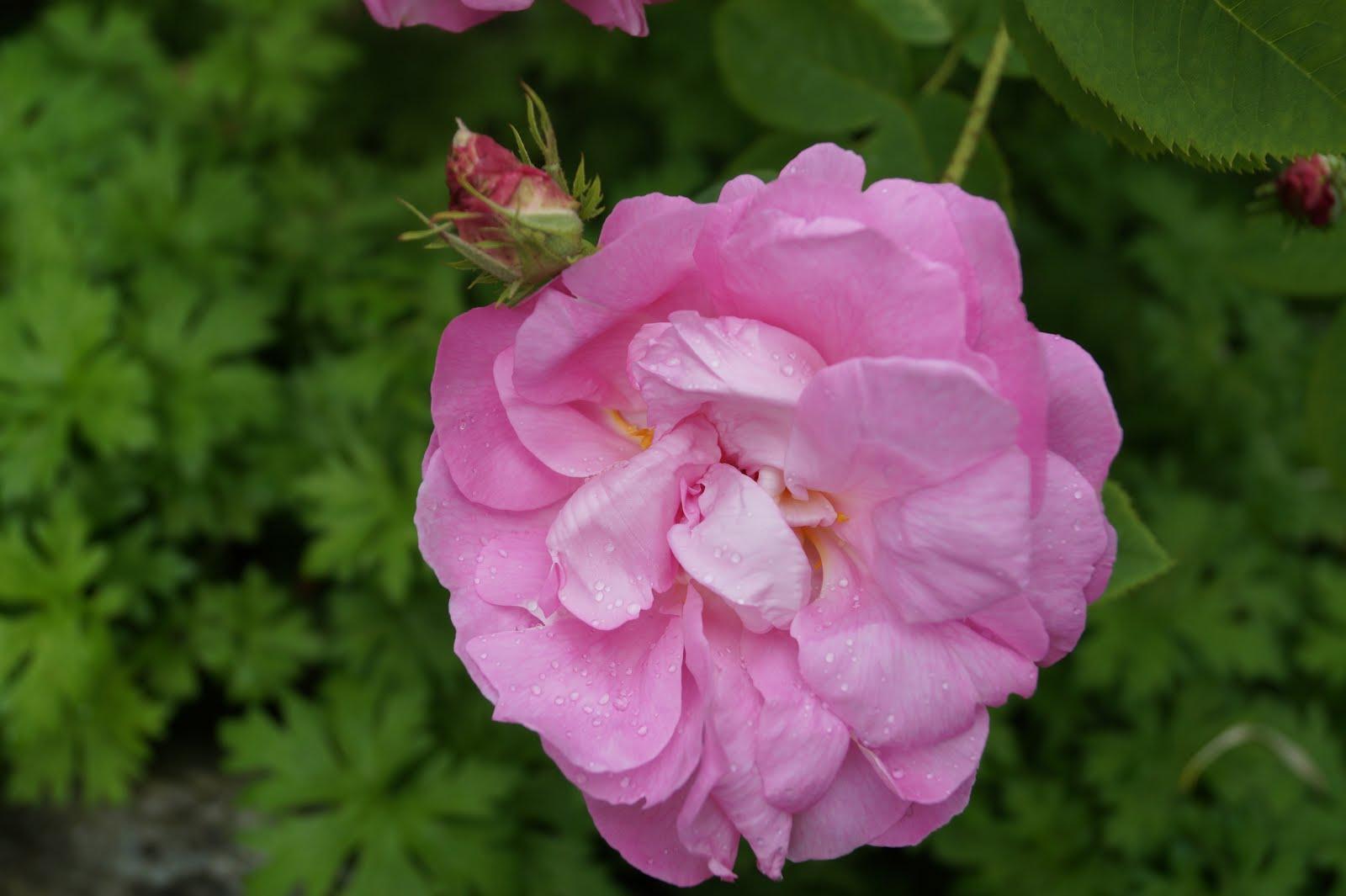 Rosa Celsiana