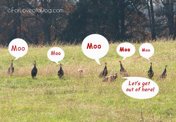 Funny Thanksgiving turkey photo