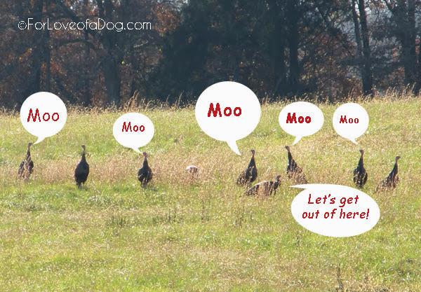 Funny Thanksgiving turkey photo