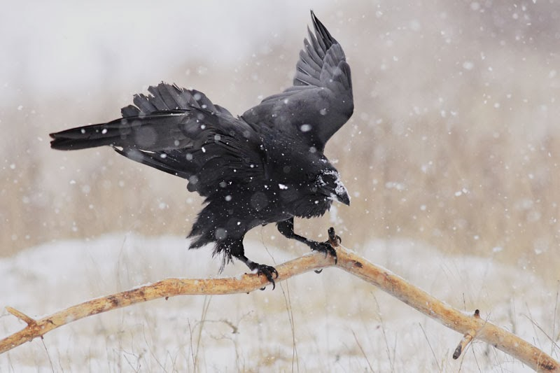 Raven Corvus corax photography by Iordan Hristov